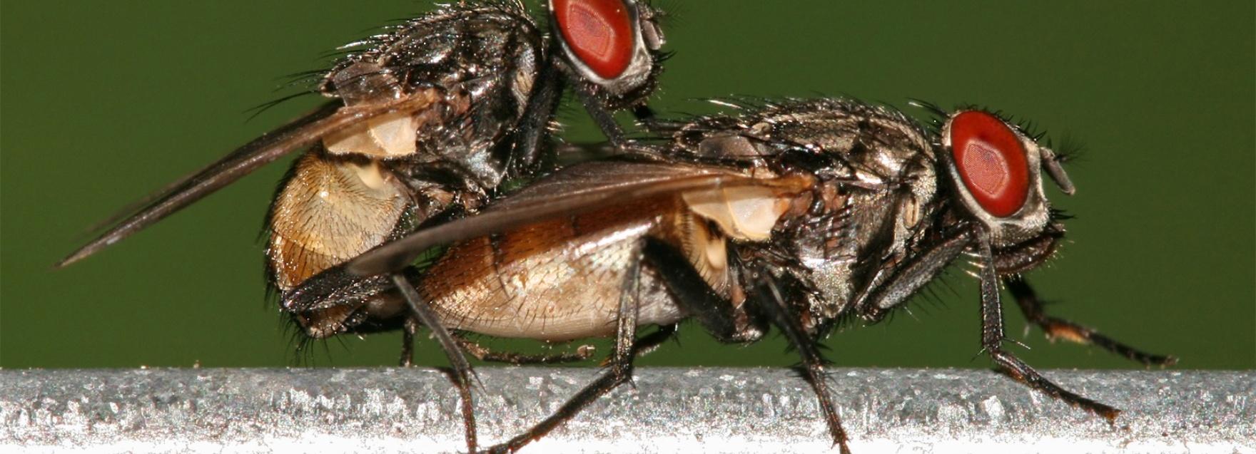 owady na penise